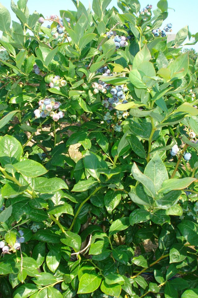 Bancy Blueberry Farms