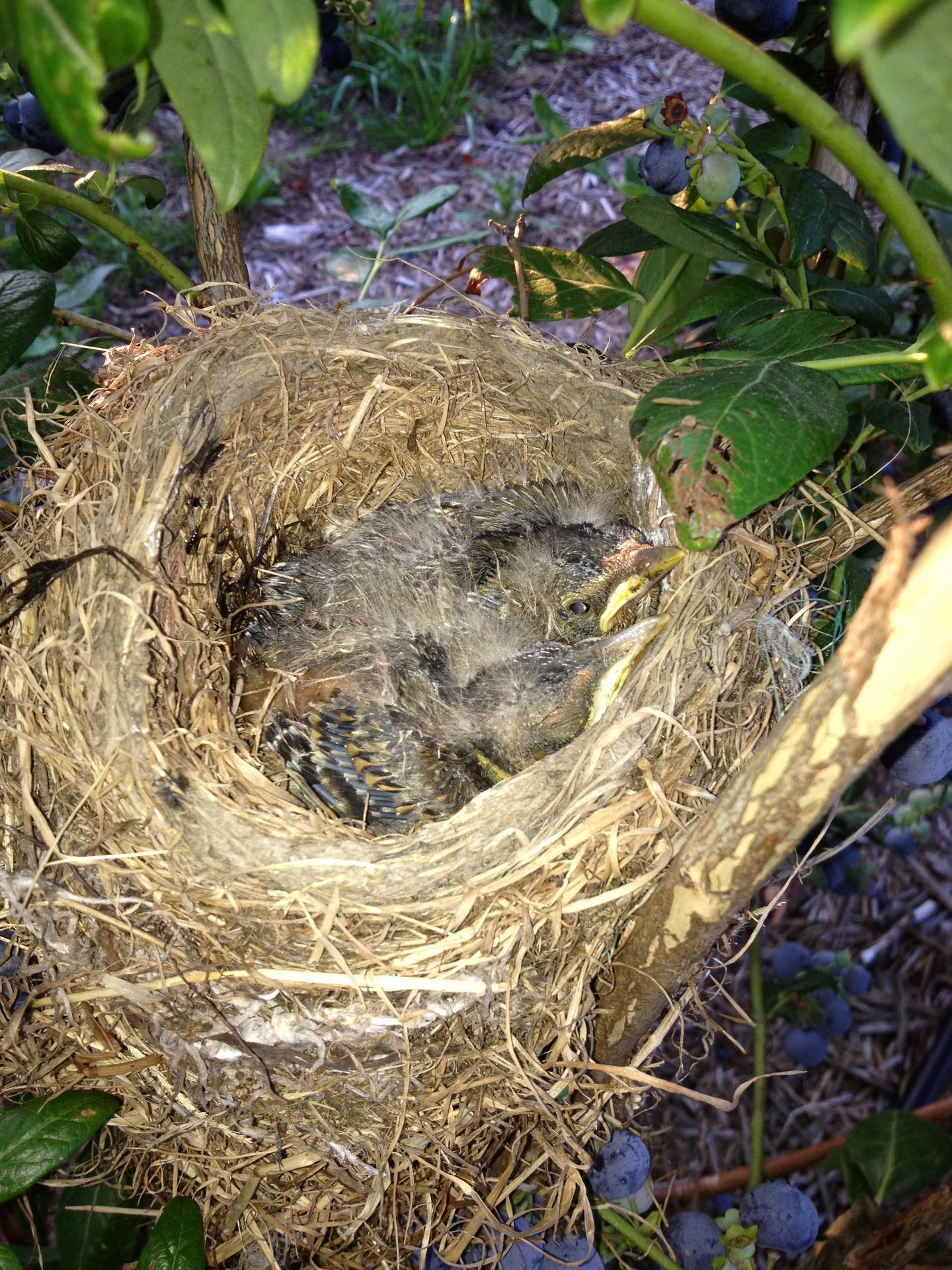 baby birds in a blueberry bush